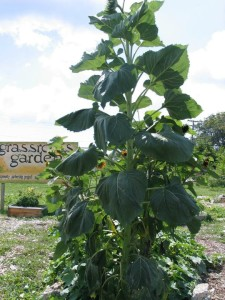 Grassroots Community Garden - 2012